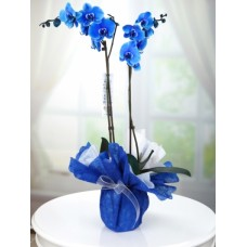 Çift Dal Mavi Orkide