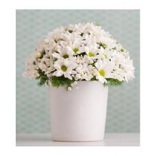 seramik vazoda beyaz düş