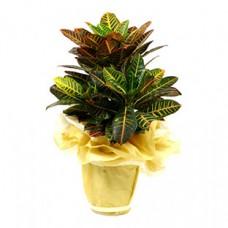 kraton bitkisi