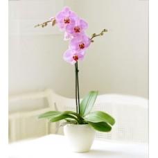 tek dal lila-pembe orkide